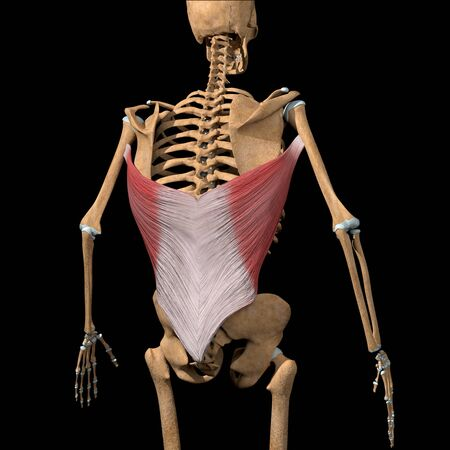 This 3d illustration shows the latissimus dorsi muscles on skeleton