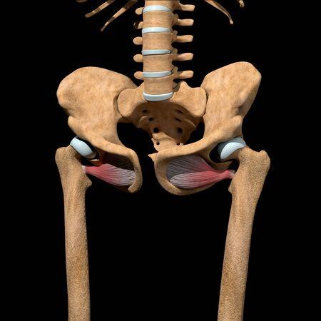 This 3d illustration shows the obturator externus muscles on skeleton