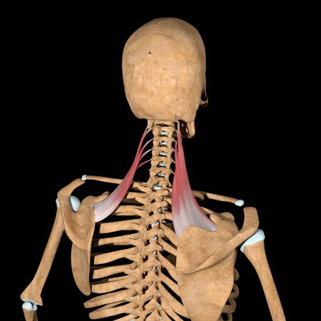 This 3d illustration shows the levator scapulae muscles on skeleton