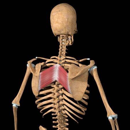 This 3d illustration shows the rhomboid major muscles on skeleton