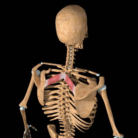 This 3d illustration shows the rhomboid minor muscles on skeleton