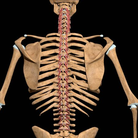 This 3d illustration shows the rotators muscles on skeleton Stockfoto