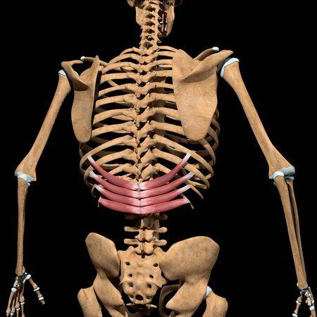 This 3d illustration shows the serratus posterior inferior muscles on skeleton Stockfoto
