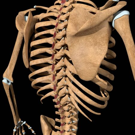 This 3d illustration shows the interspinales muscles on skeleton