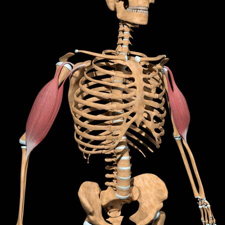 This 3d illustration shows the biceps muscles on skeleton