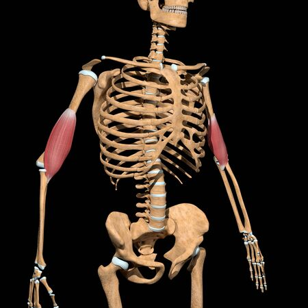 This 3d illustration shows the brachialis muscles on skeleton