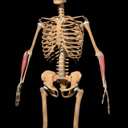 This 3d illustration shows the brachioradialis Lumborum muscles on skeleton