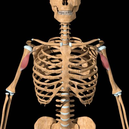 This 3d illustration shows the coracobrachialis muscles on skeleton