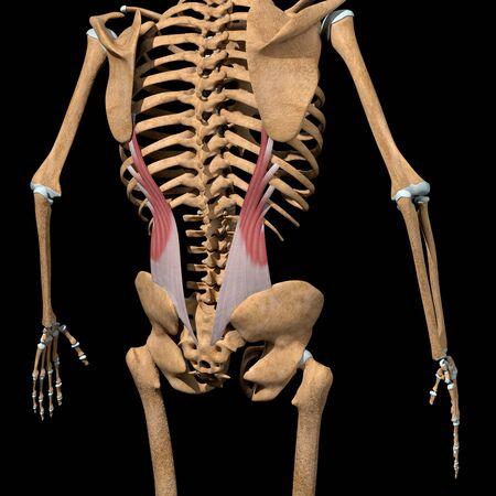 This 3d illustration shows the iliocostalis Lumborum muscles on skeleton Stockfoto