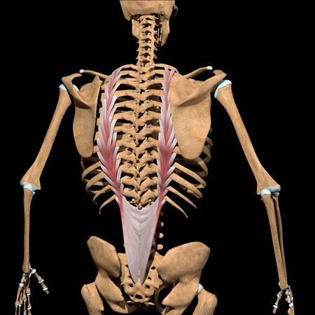 This 3d illustration shows the longissimus thoracis muscles on skeleton