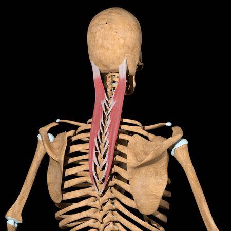 This 3d illustration shows the splenius capitis muscles on skeleton Stockfoto