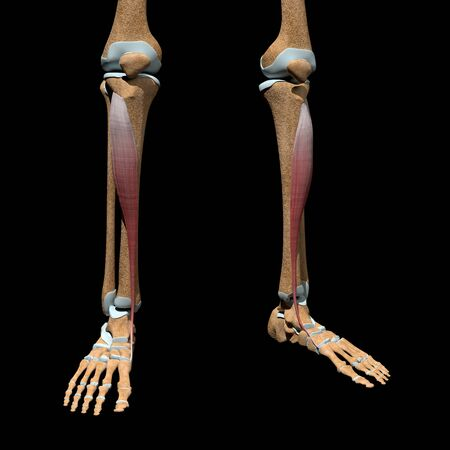This 3d illustration shows the tibialis anterior muscles on skeleton