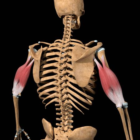 This 3d illustration shows the triceps muscles on skeleton