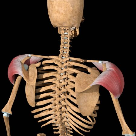 This 3d illustration shows the back view of the deltoid muscles
