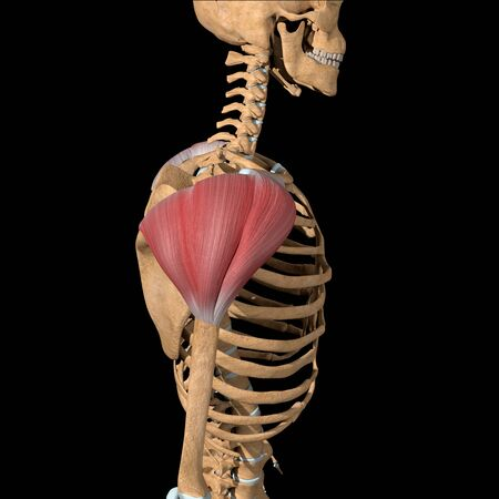 This 3d illustration shows the side view of the deltoid muscles