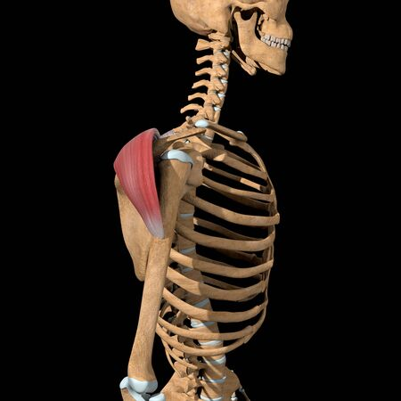 This 3d illustration shows the side view of the posterior head of the deltoid muscles Stockfoto