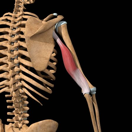 This 3d illustration shows the long head of the triceps muscles on skeleton
