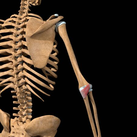 This 3d illustration shows the anconeus muscles on skeleton