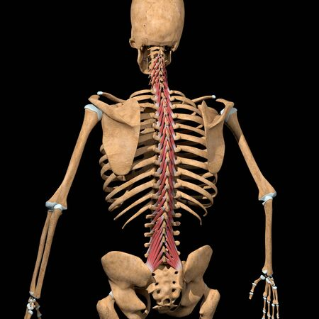 This 3d illustration shows the multifidus muscles on skeleton Stockfoto