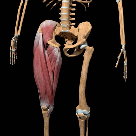 This 3d illustration shows the Thigh muscles group on skeleton