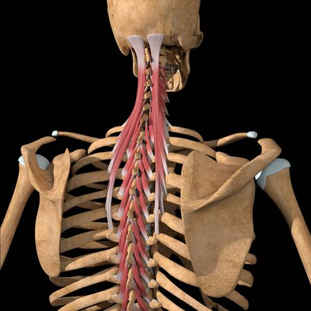 This 3d illustration shows the transversospinalis muscles group