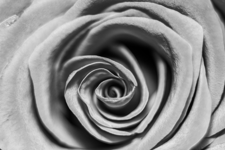 Black and white macro shot of the rose Stock Photo