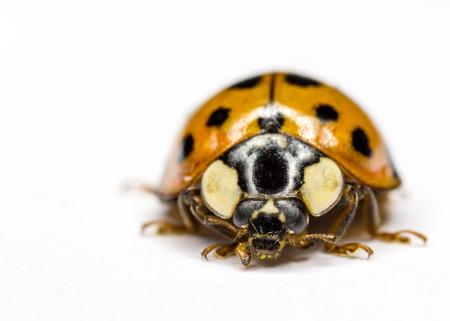 macroshot: Lady bug macro shot on white background