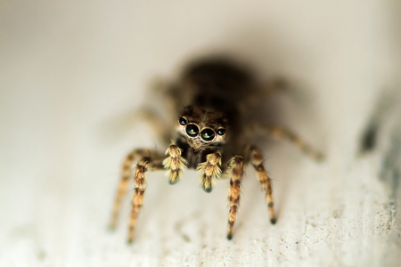macroshot: Super-macro shot of jumping spider on light backgrong