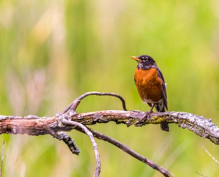 robin bird: Photo of American robin bird. Wildlife photography