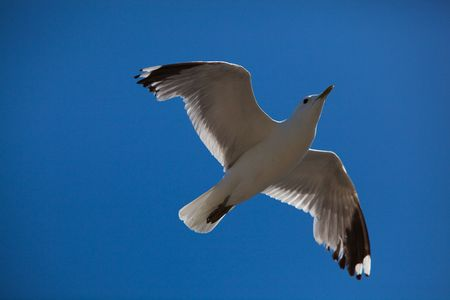 White Seagull with Spread Wings Flying on a Sunny Day Stock Photo