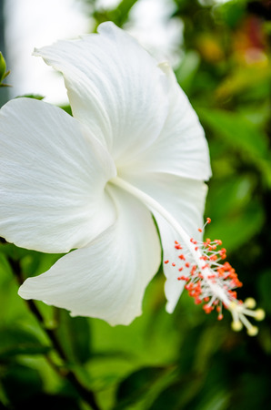 White Hibiscus with Selective Focus on its Stigma and Stamen Stockfoto