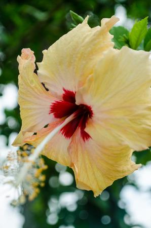 Yellow Hibiscus in my garden. Stockfoto