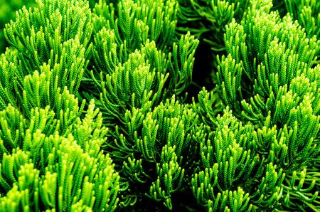 landscaping, Thuja Stockfoto