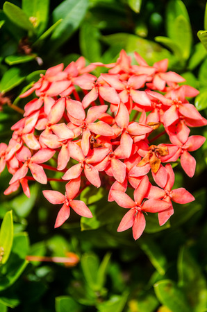 Ixora flower, Rubiaceae. Stockfoto