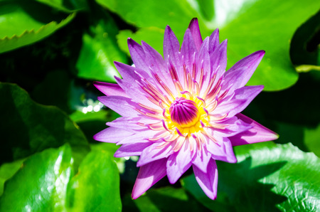 Purple lotus Stockfoto