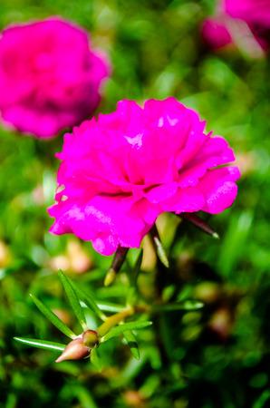 Flower,Common Purslane in the garden Stockfoto