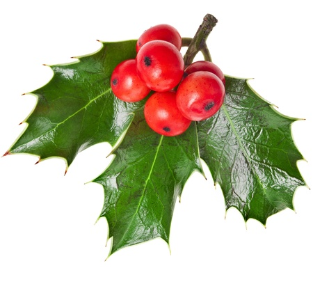 ilex aquifolium holly: European holly ilex christmas decoration isolated on white background