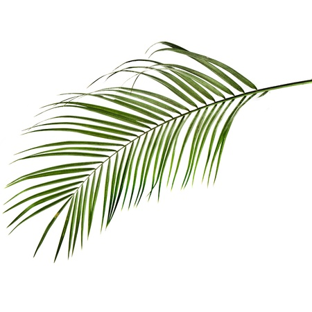 foliage frond: green palm leaf isolated