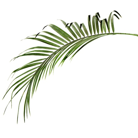 coconut leaf: green palm leaf isolated background