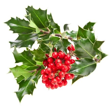 ilex aquifolium holly: Sprig of European holly ilex christmas decoration isolated on white background