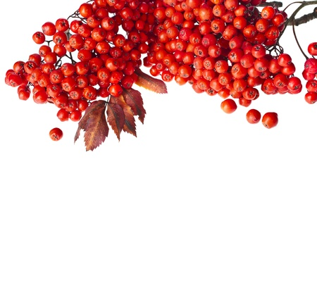 border of red rowan berries isolated on white photo