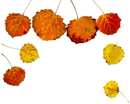 colorful autumnal aspen leaves isolated on white background photo