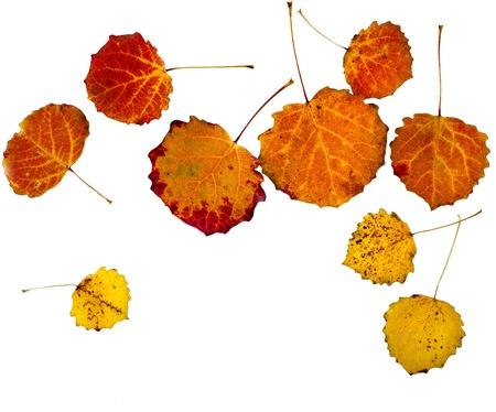 colorful autumn aspen leaves isolated on white background photo