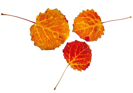 aspen leaf: colorful autumnal aspen leaves isolated on white background