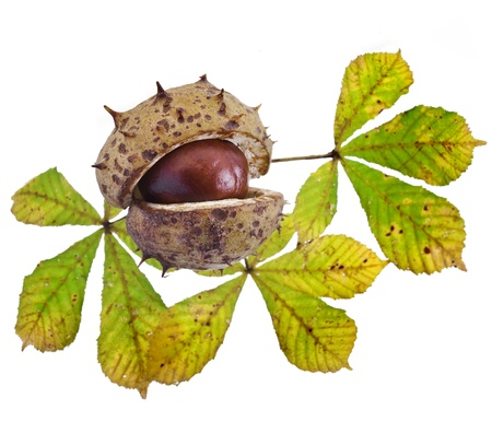 Autumn Leaf of horse chestnut tree and nut on a white background photo