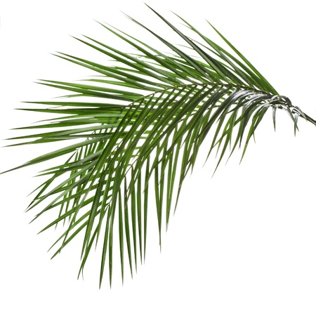 foliage frond: Palm leaves isolated on white