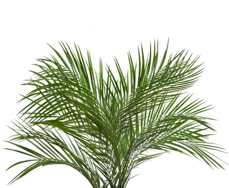 Palm tree isolated on white photo