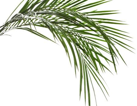 hamedoreya: Palm leaves isolated on white