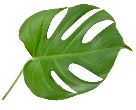 monstera leaf: Leaf of a monstera isolated on white