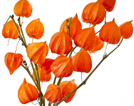 physalis: Colorful autumn decoration background with physalis Isolated on white.
